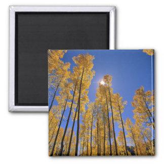 Aspen grove in autumn in the San Juan Range of Refrigerator Magnets