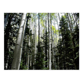 Aspen grove in forest postcard