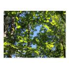Aspen Poplars Postcard