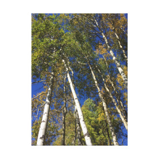 Aspen Trees in Banff National Park Canvas Print