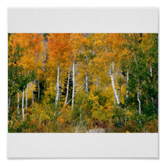 Aspens in the Fall Poster