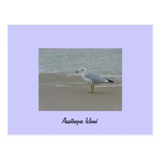 Assateague Island Gull Postcard
