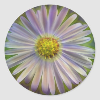 Aster Tataricus Flower With Energy Aura Round Sticker