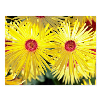 Asters Pink flowers Postcard