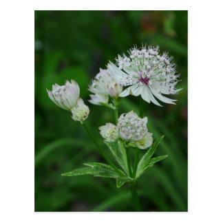 Astrantia Flowers Postcard