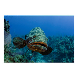 Atlantic Goliath Grouper Poster