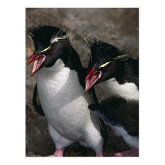 Atlantic Ocean, Falkland Islands. Rockhopper Postcard