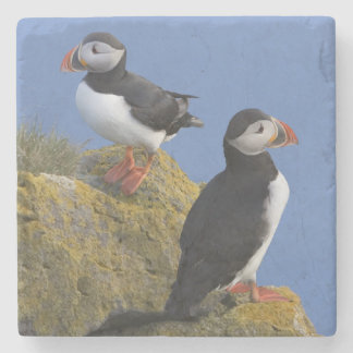 Atlantic Puffins (Fratercula arctica) on cliff Stone Coaster