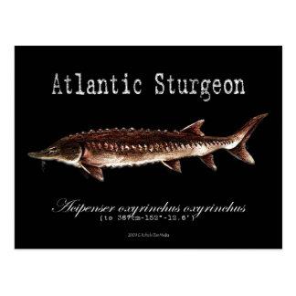 Atlantic Sturgeon-Black-Postcard Postcard