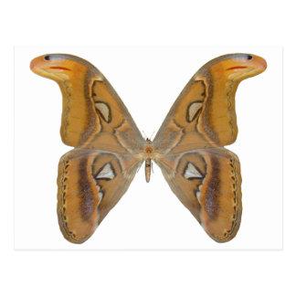 Atlas Butterfly Postcard