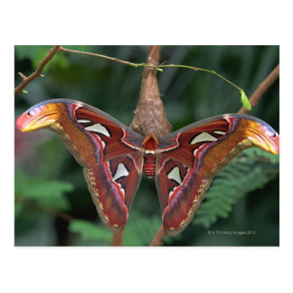 Atlas moth postcard