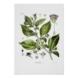 Atropa belladonna (Deadly Nightshade) Poster