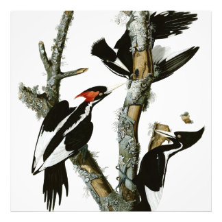 Aububon's Ivory-billed Woodpecker in Ash tree Photo Art