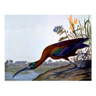 Audubon: Glossy Ibis Postcard