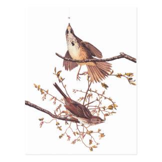 Audubon Long Sparrow Postcard