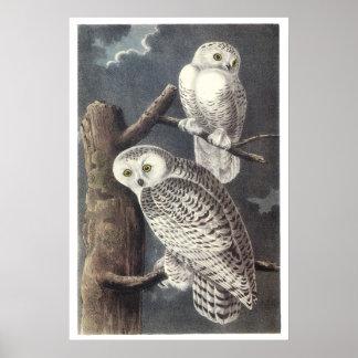 Audubon Snowy Owls Poster or Print