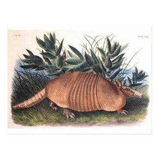 Audubon's Armadillo Postcard