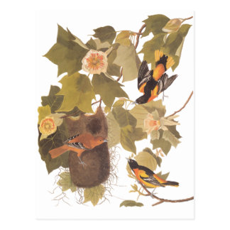 Audubon's Baltimore Oriole Birds in Poplar Tree Postcard