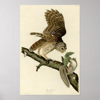 Audubon's Barred Owl Poster