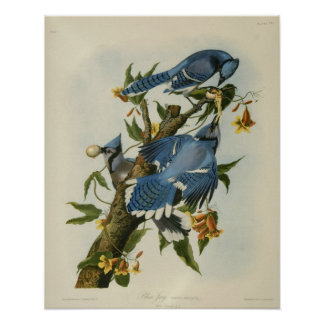 Audubon's Blue Jays Poster