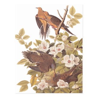 Audubon's Carolina Turtle Dove Postcard