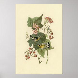 Audubon's Magnolia Warbler Poster