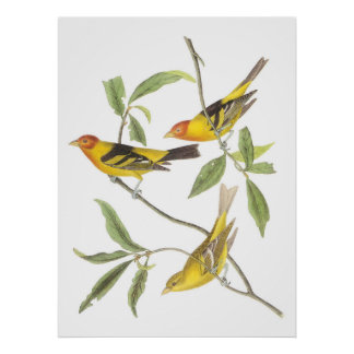 Audubon's Western Tanager Poster
