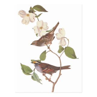 Audubon's White Throated Sparrow Postcard