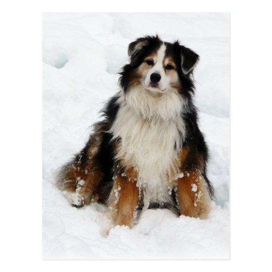 Aussie Shepherd Dog in Snow Postcard