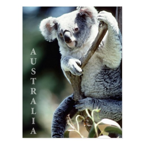 Australia Koala Bear Postcards