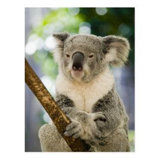 Australia, Queensland, Brisbane, Fig Tree Postcard