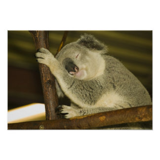 Australia, Queensland, Brisbane. Fig Tree Poster