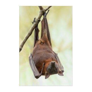 Australian bat up-side-down acrylic print