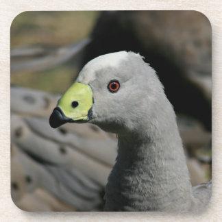 Australian Cape Barren Goose Beverage Coaster