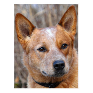 Australian Cattle Dog Postcard