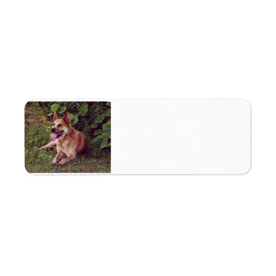 australian cattle dog red laying.png