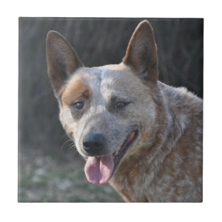 Australian Cattle Dog Tile