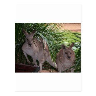 Australian Eastern Grey Kangaroo Postcard