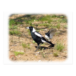 Australian Magpie being mobbed by Willie Wagtail 9 Postcard