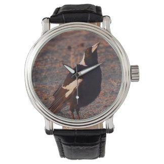 Australian Magpie watch