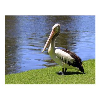Australian Pelican along the River Torrens. Postcard