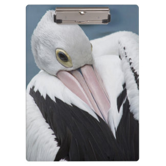 Australian pelican close up clipboard