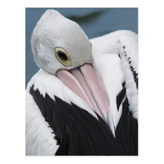 Australian pelican close up postcard