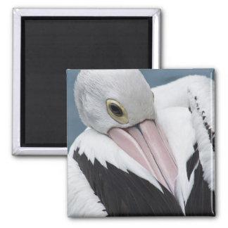 Australian pelican close up square magnet