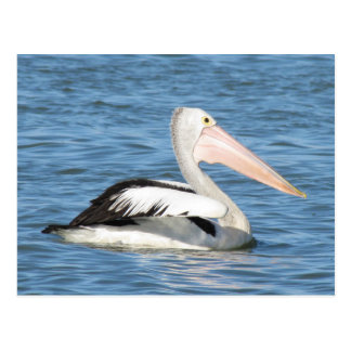 Australian Pelican Postcard