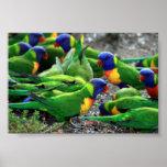 Australian Rainbow Lorikeets Poster
