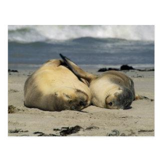 Australian Sea Lions, Neophoca cinerea), Postcard