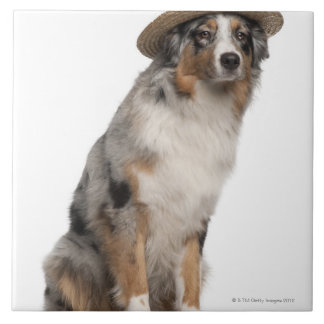 Australian Shepherd (10 months old) wearing a Tile