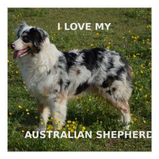 australian shepherd blue merle love w pic poster