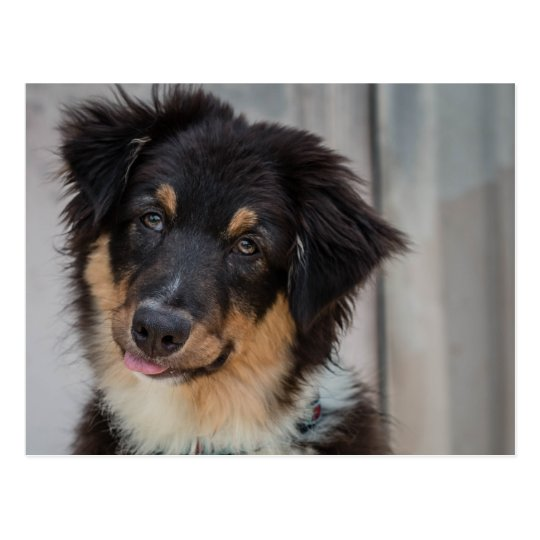 Australian Shepherd Dog Postcard